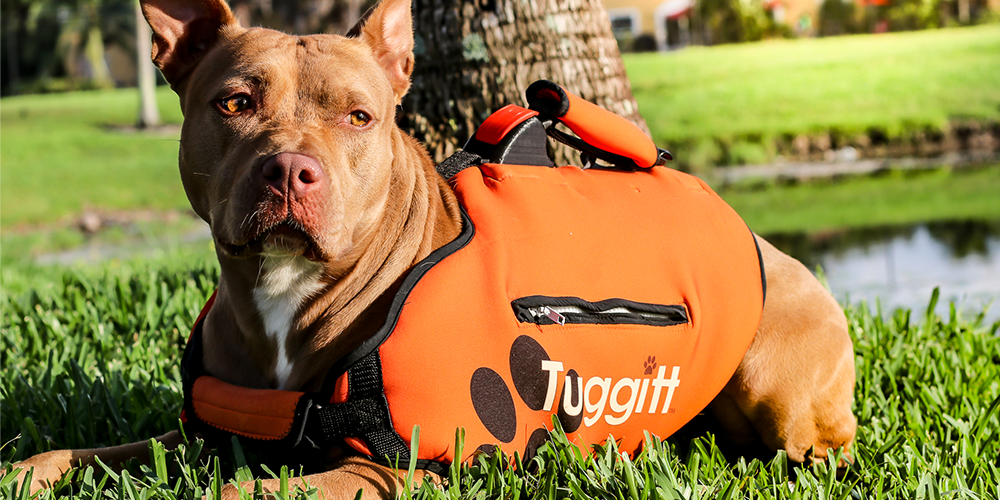 Tuggit dog harness product prototype on a pit bull dog in a park