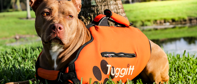 Tuggit dog harness prototype on a pit bull dog in a south florida park